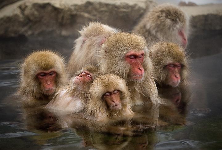 Парк обезьян Дзигокудани, Япония
